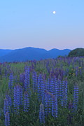 Franconia Notch Posters - Lupines and Moon Sugar Hill White Mountains Poster by John Burk