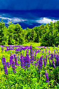 Lafayette Prints - Lupines Light Print by Greg Fortier