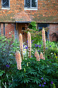 Country Cottage Photos - Lupins by James Brunker