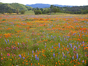 Carrizo Plain Prints - Luscious Spring Wildflowers Print by Lynn Bauer