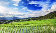 Asian Landscape Posters - Lush green rice field  Poster by Anek Suwannaphoom