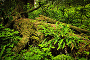 Vancouver Island Prints - Lush temperate rainforest Print by Elena Elisseeva
