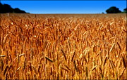 Grocery Store Photo Prints - LYING in the RYE Print by Karen Wiles