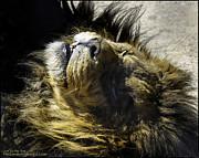 LeeAnn McLaneGoetz McLaneGoetzStudioLLCcom - Lying Lion African Lion AKA Panthera leo