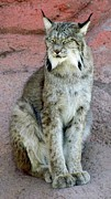 Bobcat Photos - Lynx by Barbara Henry
