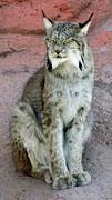 Lynx Print by Barbara Henry