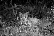 Lynx Photos - Lynx in the wild by Christian Heeb