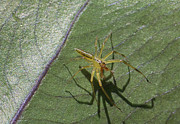TJ Baccari - Lynx Spider and his...