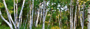 Birch Bark Tree Prints - M-22 Birches Print by Michelle Calkins