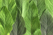 Recall Prints - M7500790 - Sage Leaves Print by Spl