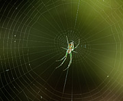 Leggy Posters - Mabel Orchard Spider Poster by Lara Ellis