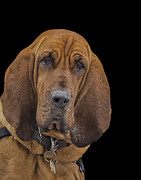 Bloodhounds Prints - Mabel Print by Penny Pesaturo