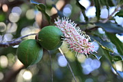 Proteaceae Posters - Macadamia Nuts and Flower Poster by Karon Melillo DeVega