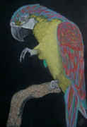 Print Pastels Originals - Macaw 2 by Cybele Chaves