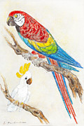 Parakeet Pastels Prints - Macaw and Cockatoo portrait Print by Kurt Tessmann