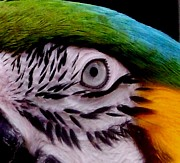 Blue And Gold Macaw Prints - Macaw Parrot Eyes You Print by Gail Matthews