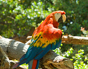 Parrot Print Prints - Macaw Parrot  Print by L J Oakes