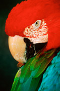 Macaw Photos - Macaw Portrait by Anonymous