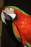 Red And Orange Feathers On Front Posters - Macaw Profile Poster by John Telfer