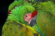Joanna Williams - Macaw Snuggle