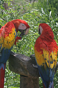 Macaw Art Print Framed Prints - Macaw Framed Print by Tomas Benavente