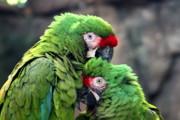 Diane Merkle - Macaws in Love