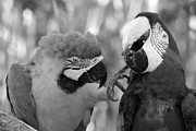 Rob Hans - Macaws Of Color B W 11