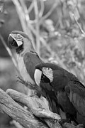 Rob Hans - Macaws Of Color B W 14