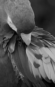 Rob Hans - Macaws Of Color B W 16