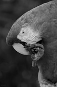 Rob Hans - Macaws Of Color B W 18