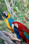 Rob Hans - Macaws Of Color23