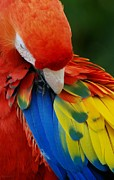 Rob Hans - Macaws Of Color25