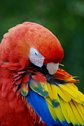 Rob Hans - Macaws Of Color26