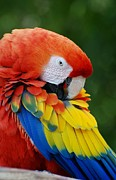 Rob Hans - Macaws Of Color28
