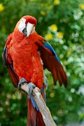 Rob Hans - Macaws Of Color30