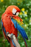 Rob Hans - Macaws Of Color31
