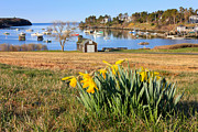 New England Ocean Framed Prints - Mackerel Cove Daffodils Framed Print by Benjamin Williamson