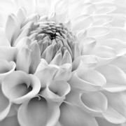 Silver And Black Framed Prints - Macro Dahlia Flower Monochrome Framed Print by Jennie Marie Schell