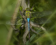 Blue Dragon Fly Prints - Macro Dragonfly Print by Jack Zulli