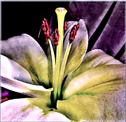 Macro Luminous Lily  Print by Danielle  Parent