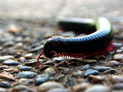 Justin Woodhouse Metal Prints - Macro  Millipede Metal Print by Justin Woodhouse