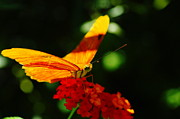 Living Things Prints - Macro Of An Orange Butterfly Print by Jeff  Swan