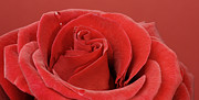 Margaryta Vakhterova - Macro of  beautiful red...