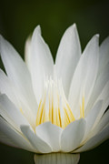 Aquatic Plants Posters - Macro photograph of a white and yellow Water Lily Poster by Zoe Ferrie
