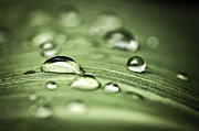 Dewdrops Photo Posters - Macro raindrops on green leaf Poster by Elena Elisseeva