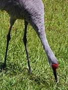 Kerr Originals - Macro Sandhill Crane by Warren Thompson