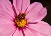 Nelieta Mishchenko Posters - Macro shot of a bee on a bright pink flower Poster by Nelieta Mishchenko