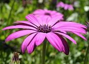 Tracey Harrington-Simpson - Macro Shot Of A Purple Osteospermum