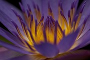 Bonita Hensley - Macro Water Lilly Side...