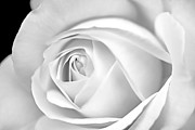 Jennie Marie Schell Art - Macro White Rose in Monochrome by Jennie Marie Schell